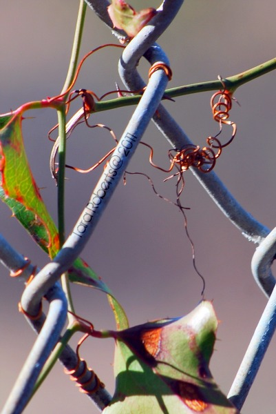 chain link fence and vines