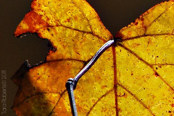 backlit leaf, vein detail