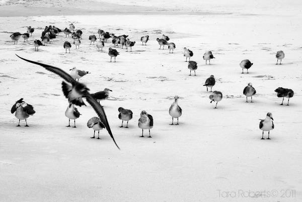 seagull flock black and white