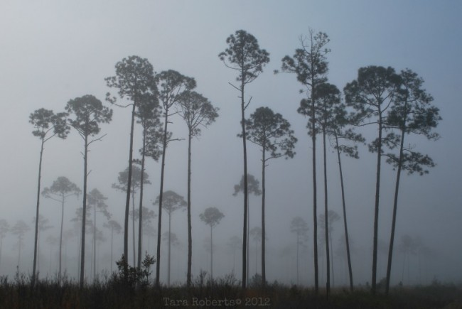 morning fog in tall pines