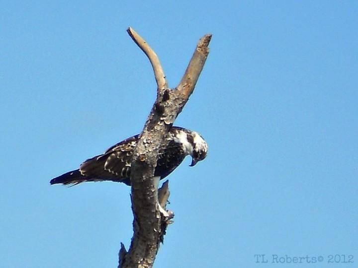 perched hawk