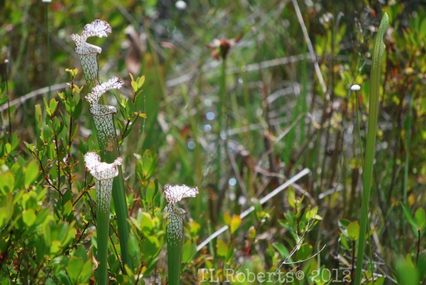 Tarklin Bayou pitcher plants