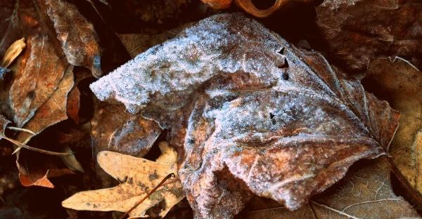 frost on an oak leaf