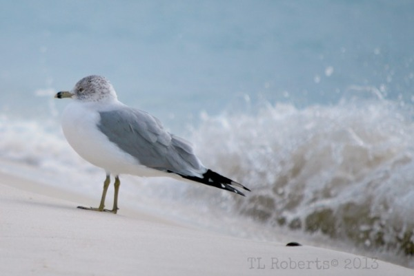 seagull and waves