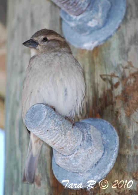 wren nesting