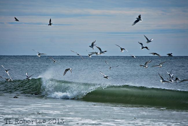 seagull flock feeding