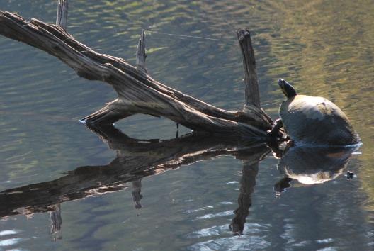 turtletree13