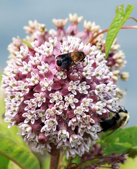 bees on pink milkweed