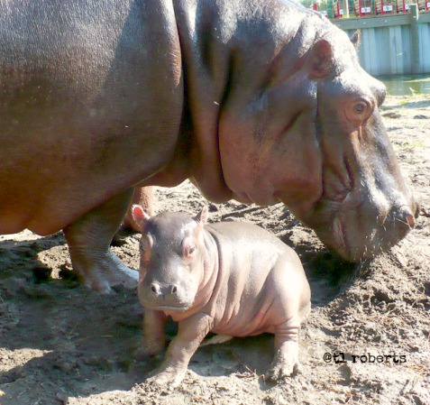 mother and baby hippo