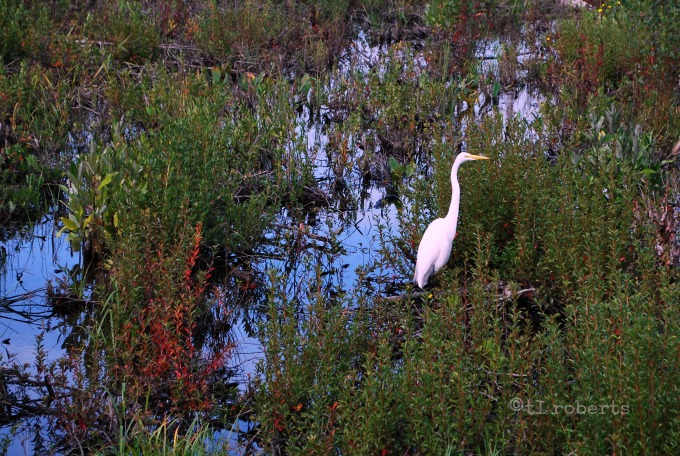 ibis in a marsh