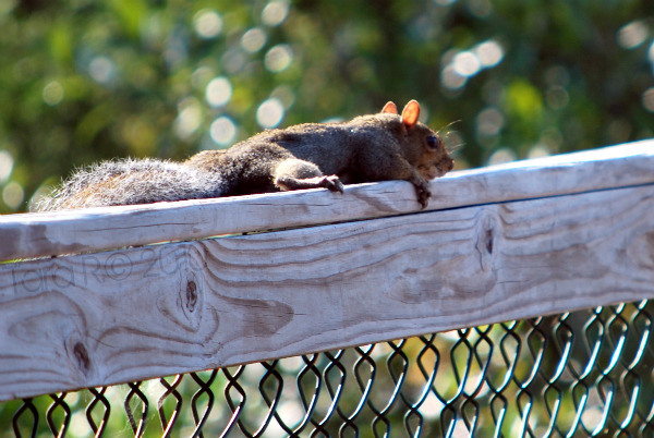 resting squirrel