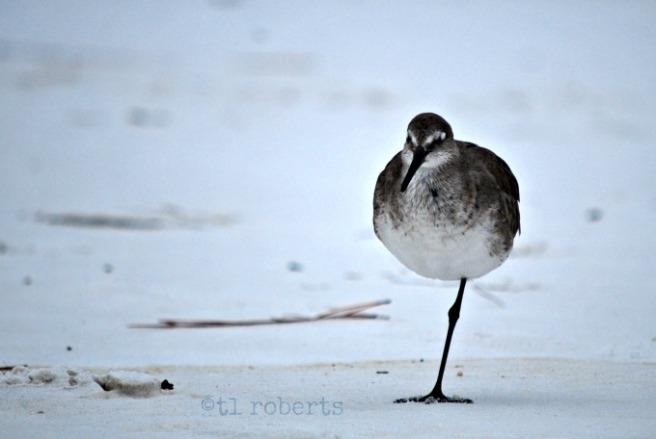 seagull on one leg