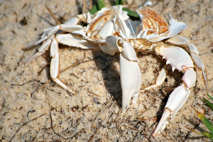 molted crab shell