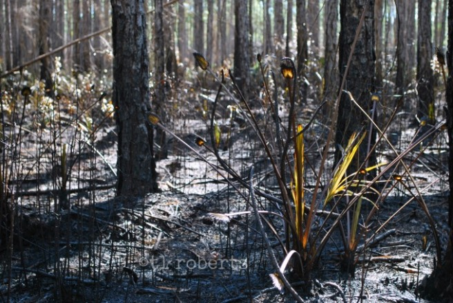 controlled burn regrowth