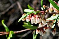 springbells