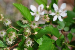 blackberry blossoms and green berries