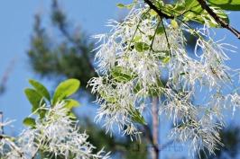 white fringe-like flowers