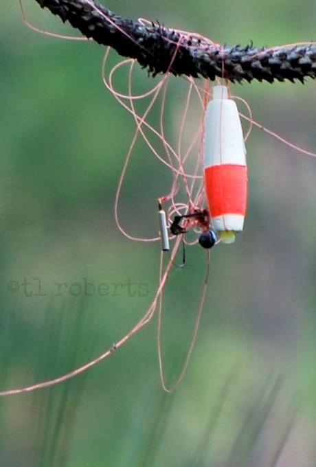 fishing lure tangled around tree limb