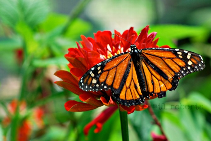 monarch butterfly on red milkweed
