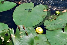 Black dragonfly on lily pad