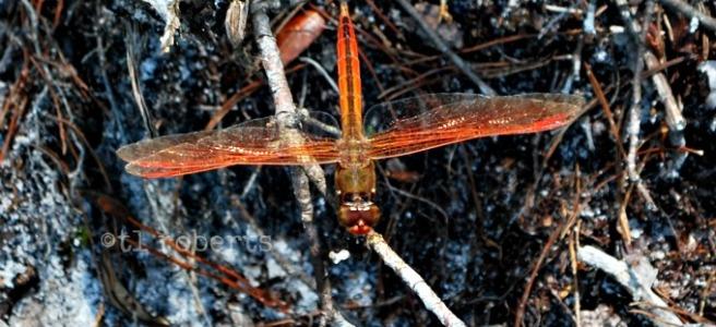bronze dragonfy