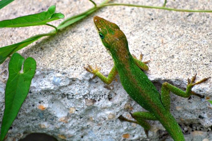 Window lizards