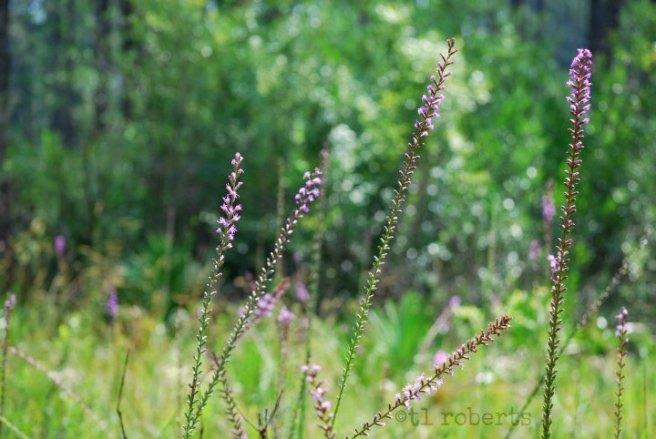 purplestalks