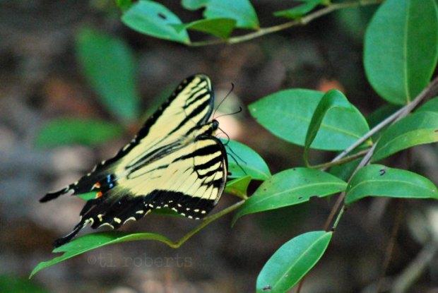 yellowswallow