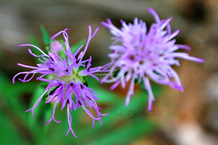 purpleblossom