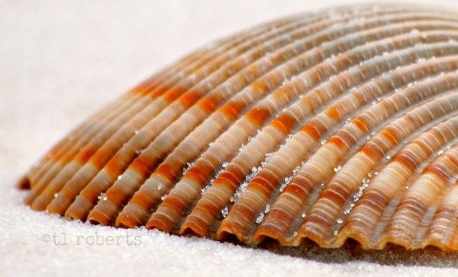 macro orange striped seashell