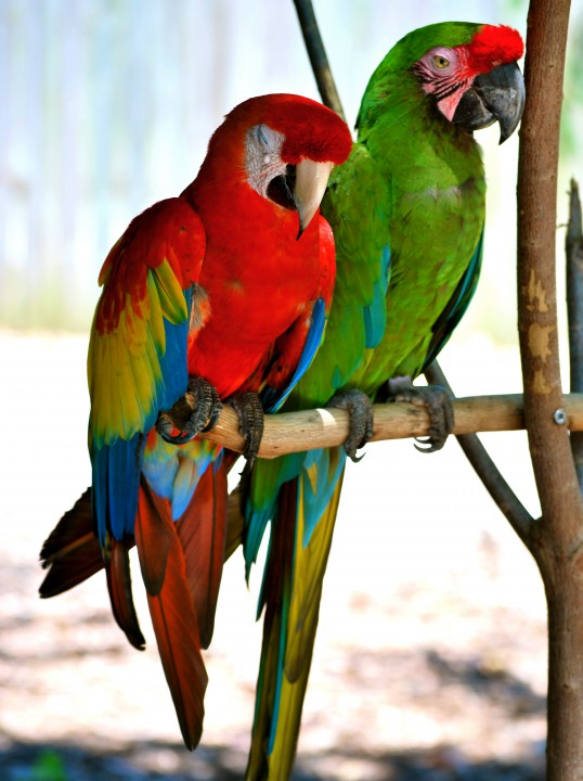 two parrots red and green