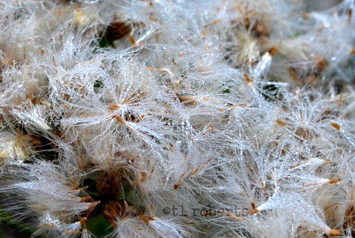 dewy fluff