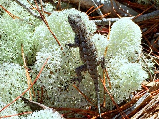lizards on deer moss