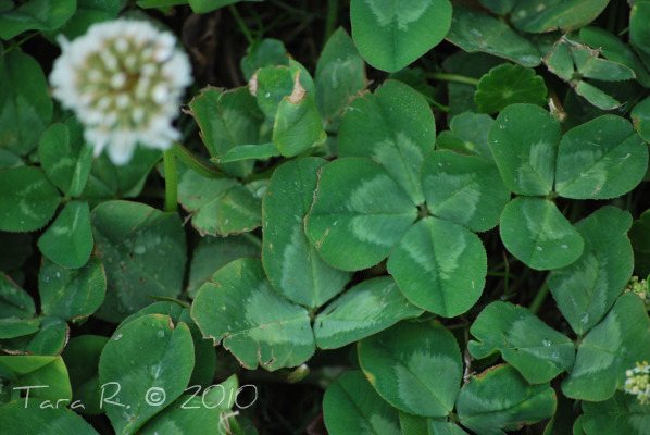 four leaf white clover