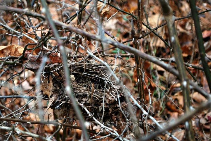 bird nest in brambles