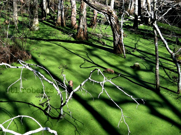 shadows of trees in a swamp