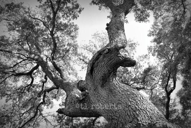 black and white oak canopy