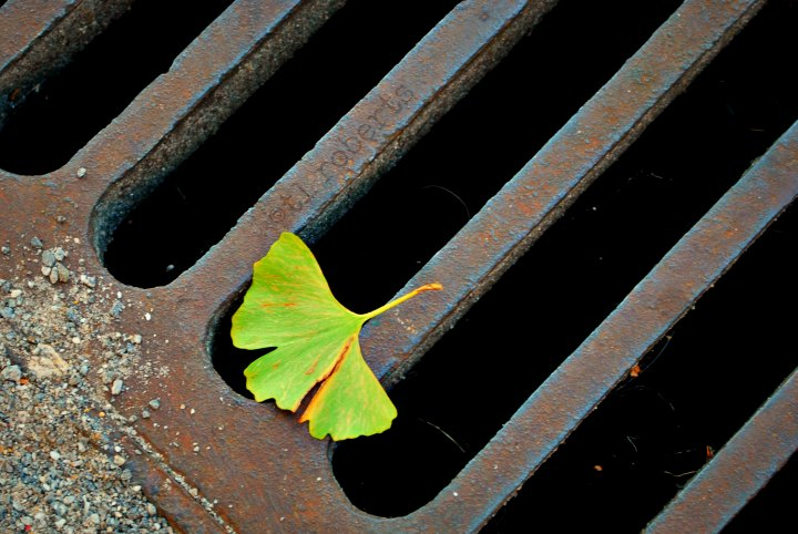ginko leaf on a sewer grate