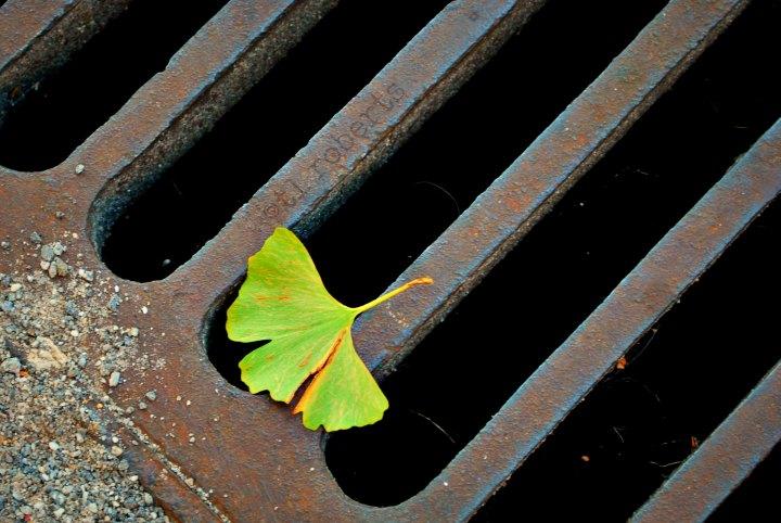 ginko leaf on a sewer grate