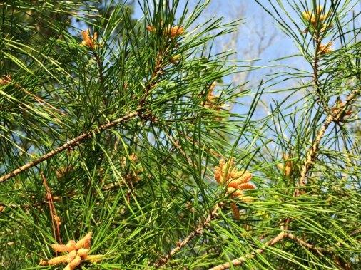 budding pine cones