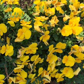 yellow impatiens