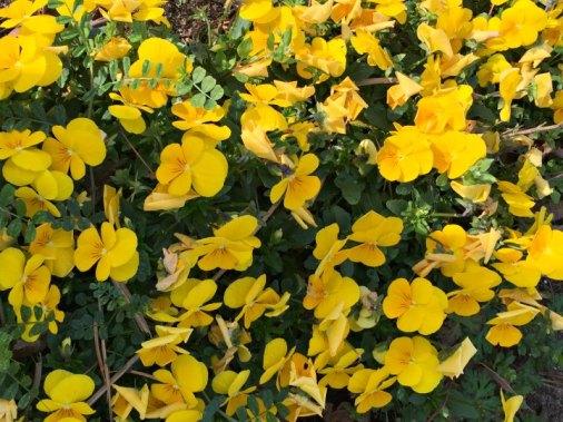 yellow impatiens