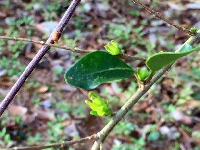 budding leaves