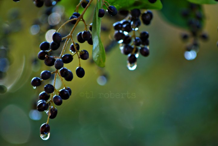 rain on black berries