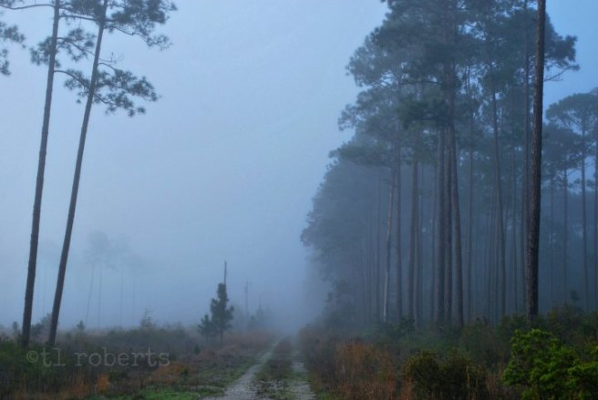foggy dirt road through pine woods
