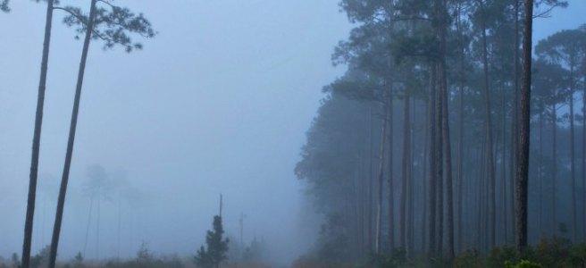 foggy dirt road through pine woods
