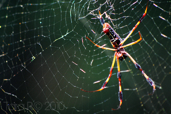 large golden spider