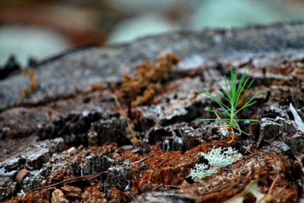 pine seedling growing from dead tree stump