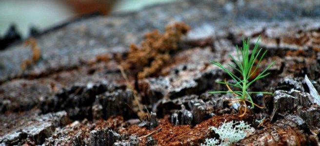 pine seedling growing from dead tree stump