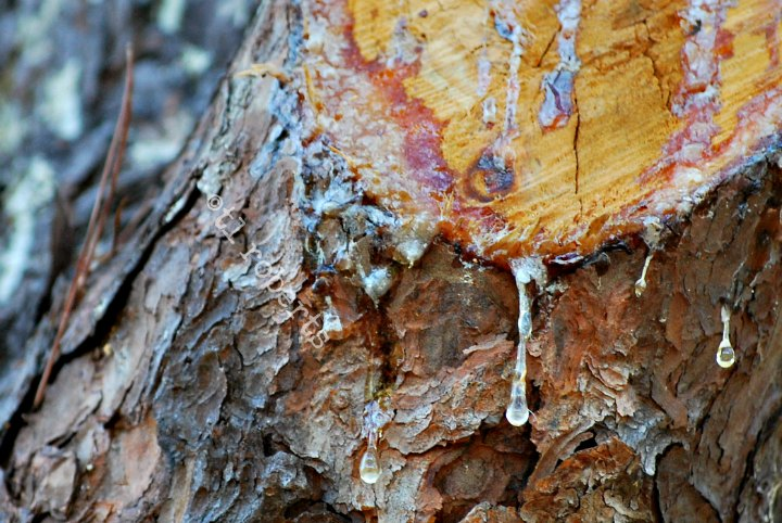 sap oozing from cut tree limb
